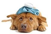 canine flu alert