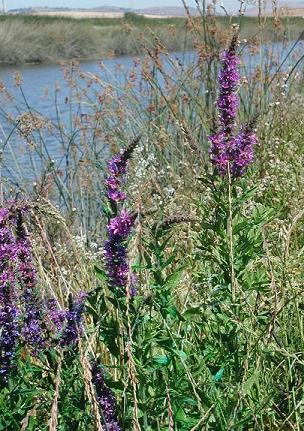 Purple loosestrife contra costa county ca official website purple loosestrife flower mightylinksfo
