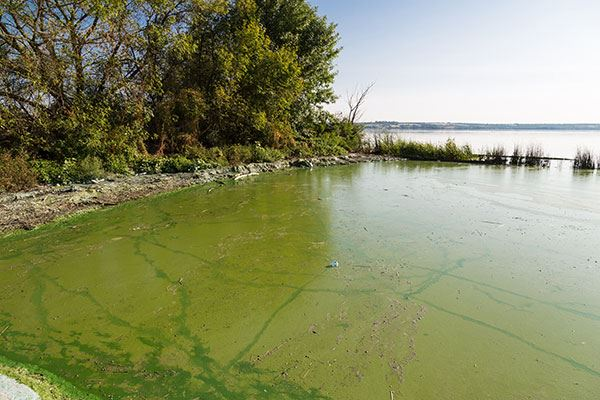 blue-green-algae