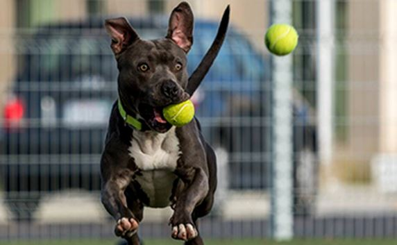 Dog playing with tennis balls