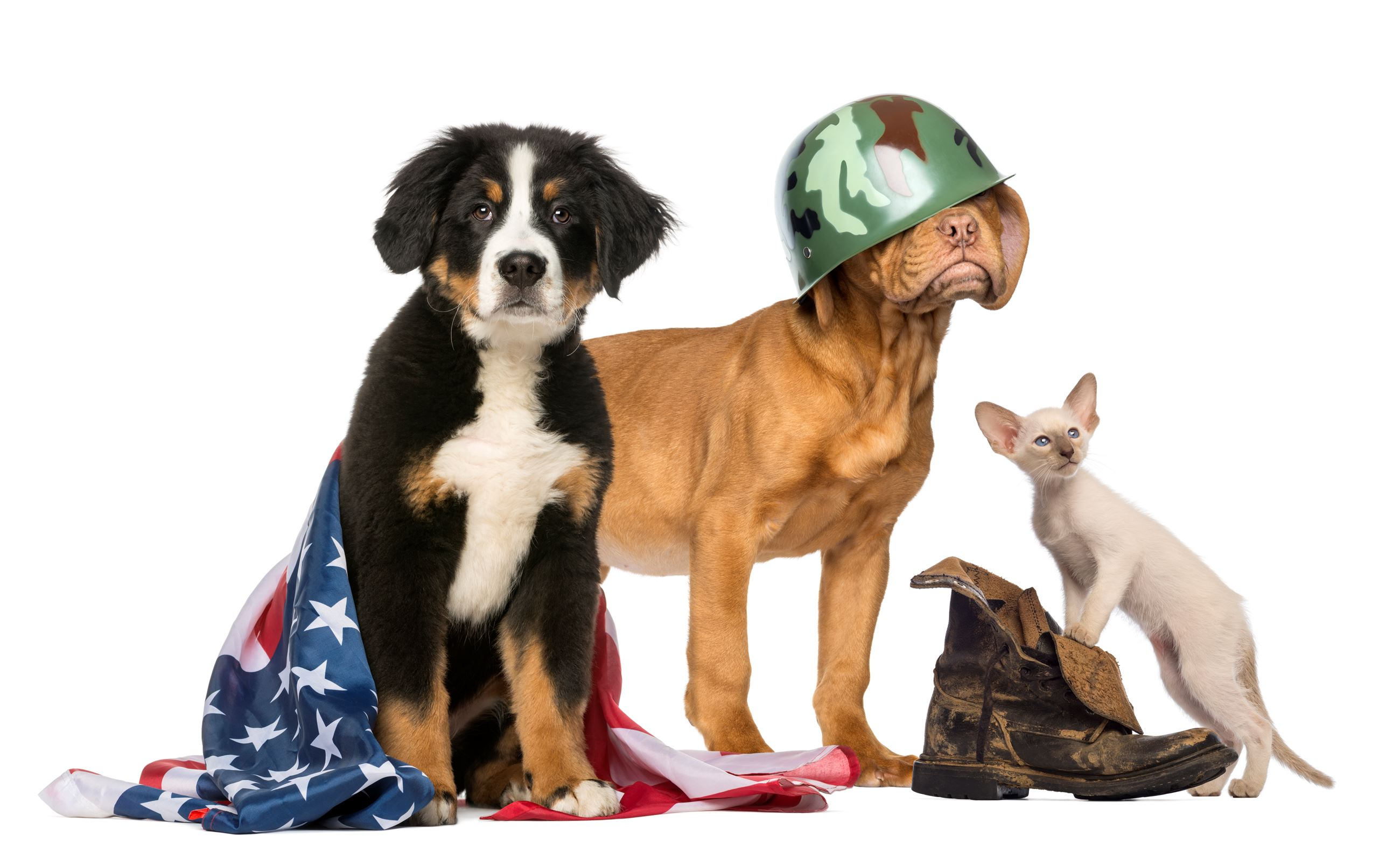 cat and dogs with military items