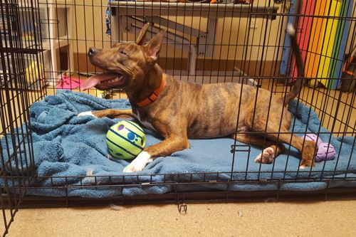 Dog lays next to ball in crate with open door