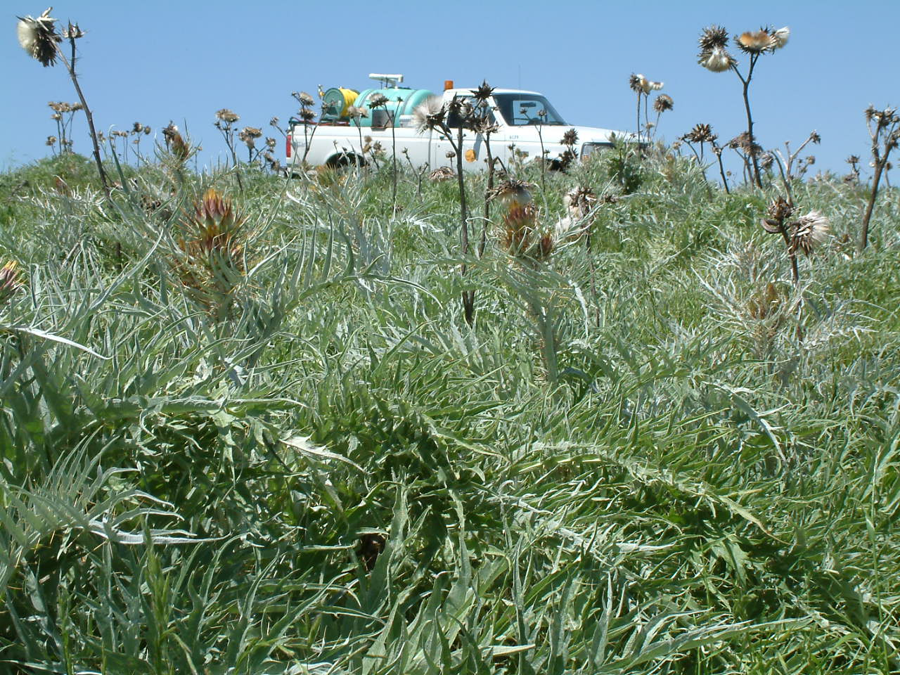 Artichoke thistle at Wilcat Canyon with county truck in background