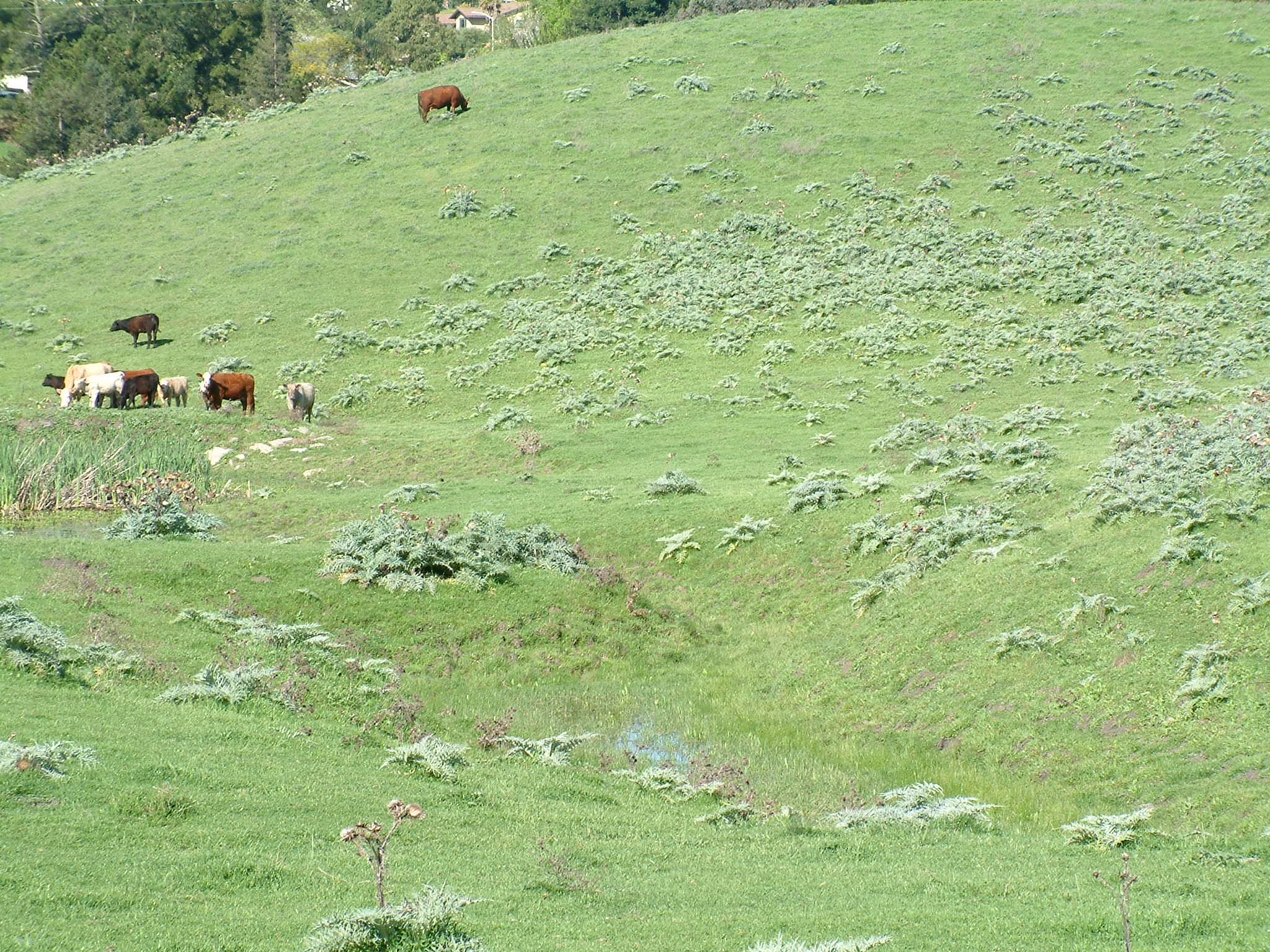 Artichoke thistle on a hill with livestock