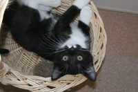 Cat laying upside down in basket
