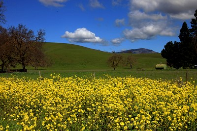 Mt Diablo Yellow Flowers Landscape