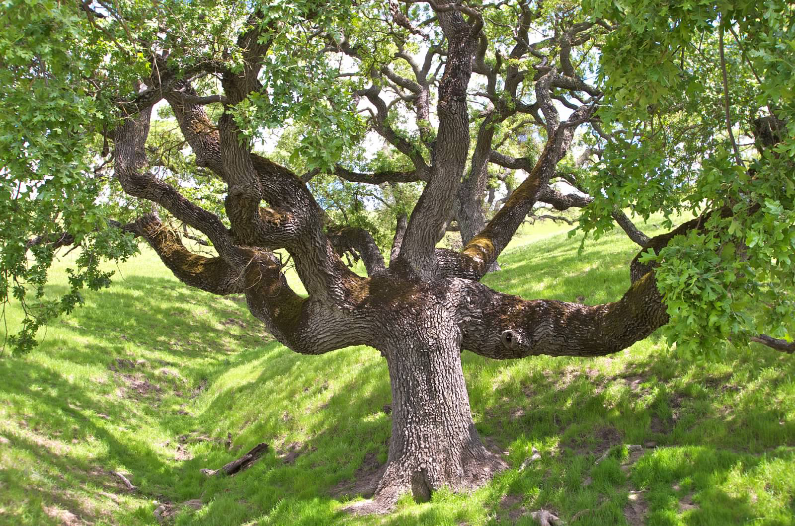 Sycamore Valley Oak
